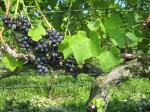 Syrah Grape Clusters