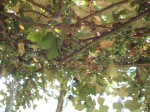 Eighty-year-old Concord Grapes at Hawk Haven