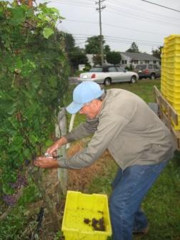 Ed Wuerker Harvesting Pinot Grigio