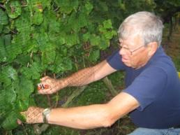 Grandpa Harvesting Pinot Grigio