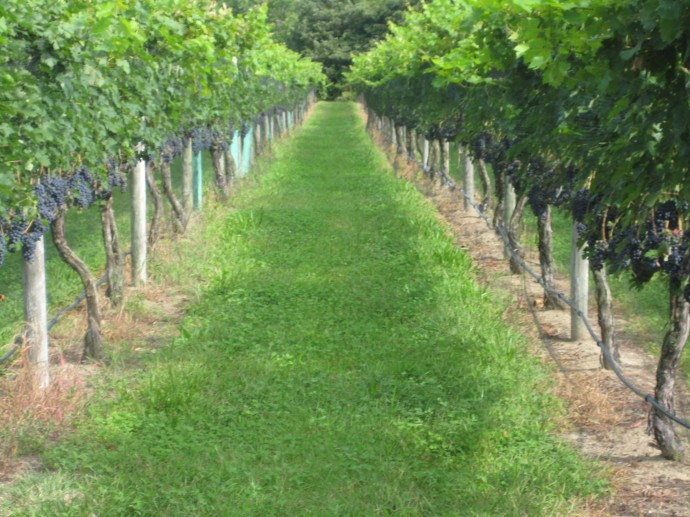 View of Netted Vineyard