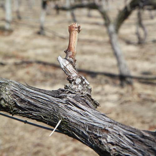 A properly pruned spur.