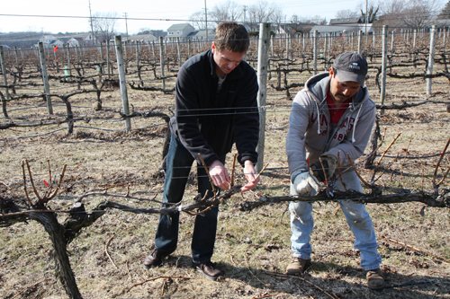 Todd and Lalo pruning Cabernet vines.