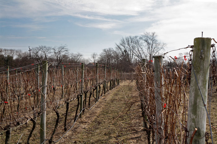 Some Hawk Haven vines before pruning starts.