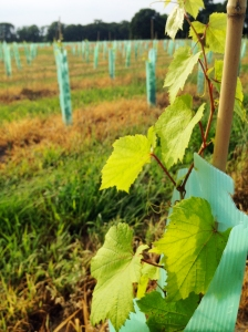 A lot of new varietals were planted this year in addition to Teroldego and Legrein.