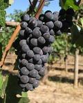 Chehalem_pinot_noir_grapes